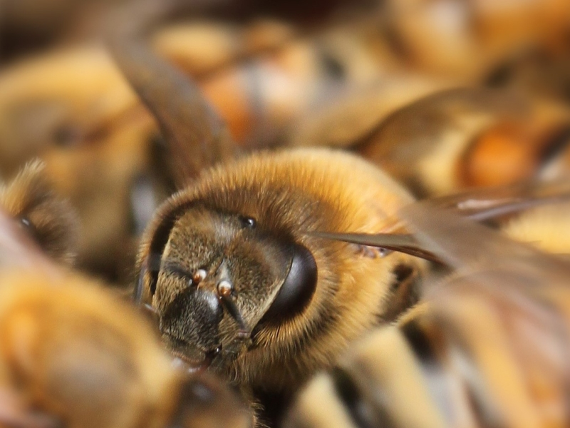 Close-up on a single honeybee in a big group