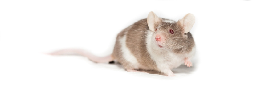 Photograph of a rodent with red eyes against a white background.