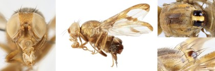 Four images of one fly, Xanthacrona bipustulata, showing its head, habitus, thorax, and scutellum.