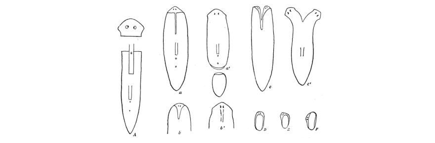 Illustration of Planaria from Thomas Hunt Morgan's Regeneration